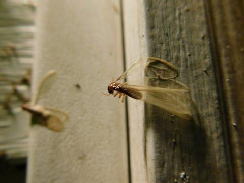 Flying Termite Swarm | Mississippi Wildlife