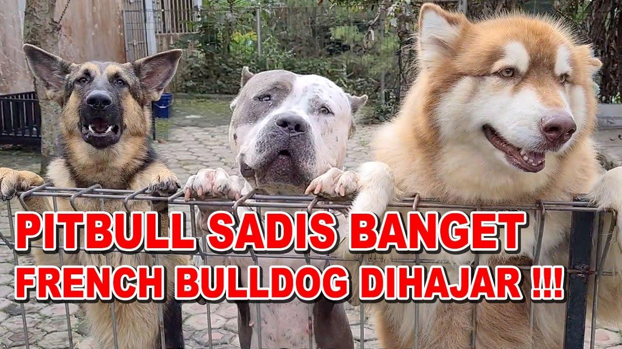 PITBULL SADIS BANGET !!! FRENCH BULLDOG DIHAJAR HABIS-HABISAN