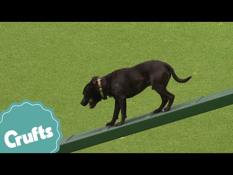 East Anglian Staffordshire Bull Terrier Display - Highlights - Paul O'Grady as Guest
