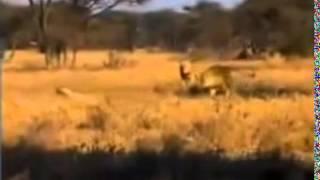 Lion Kills Cheetah !!! Documentary Animal and Nature    YouTube