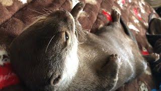 カワウソさくら 布団を敷いたらちゃんと布団で寝てた偉いカワウソ Otter sleeping on futon thumbnail
