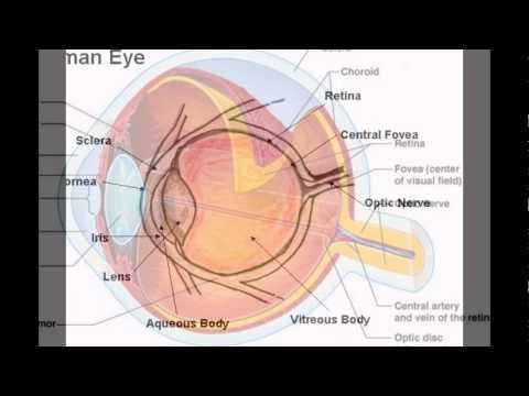 The Human Eye Parts