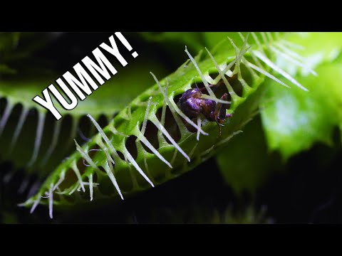 FEEDING My New CARNIVOROUS PLANTS | Venus Fly Traps And Pitcher Plants
