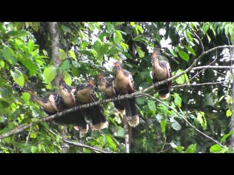 Birds of Peru: Hoatzin (Opisthocomus hoazin)