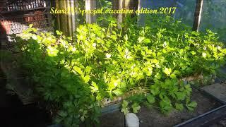 pietruszka w moim ogrodzie w szklarni cały rok