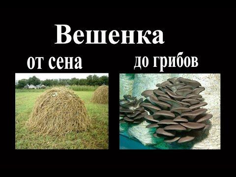міцелій гриба вешенки