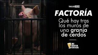 """¿Cómo viven los cerdos de nuestras granjas? Lo que nuestra ley de """"bienestar animal"""" permite"""