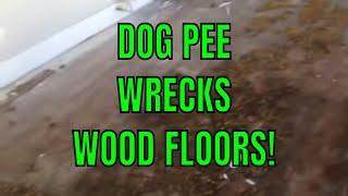 DOG PEE WRECKS WOOD FLOORS! I Learned!!!!