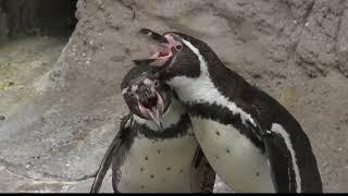 Celebrating National Penguin Day