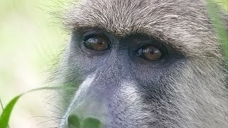 Tracking wild YELLOW BABOONS in Mikumi National Park - Tanzania