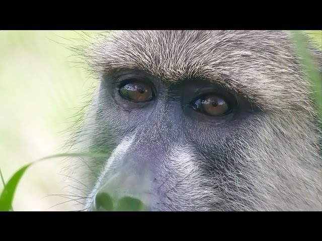 Tracking Yellow Baboons in Mikumi