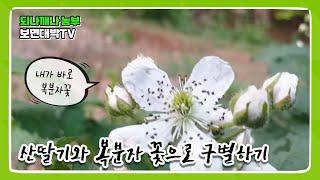 산딸기와 복분자 꽃으로 구별하기