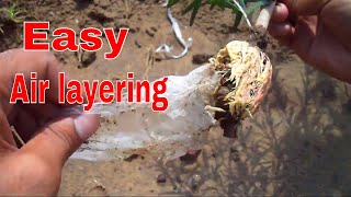 How to Air layering On Bottle Brush Tree with Update /Easy Method - 28 Aug 2017/Mammal Bonsai