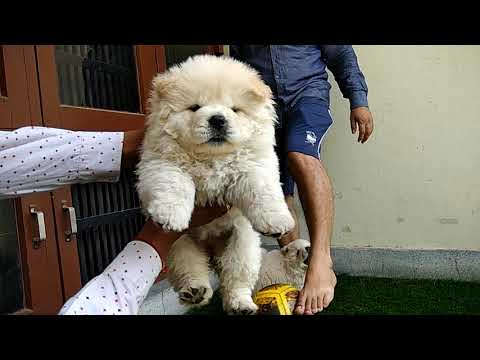 The Chow Chow puppies available, the teddy bear dog, most cutest dog, KCI register puppy
