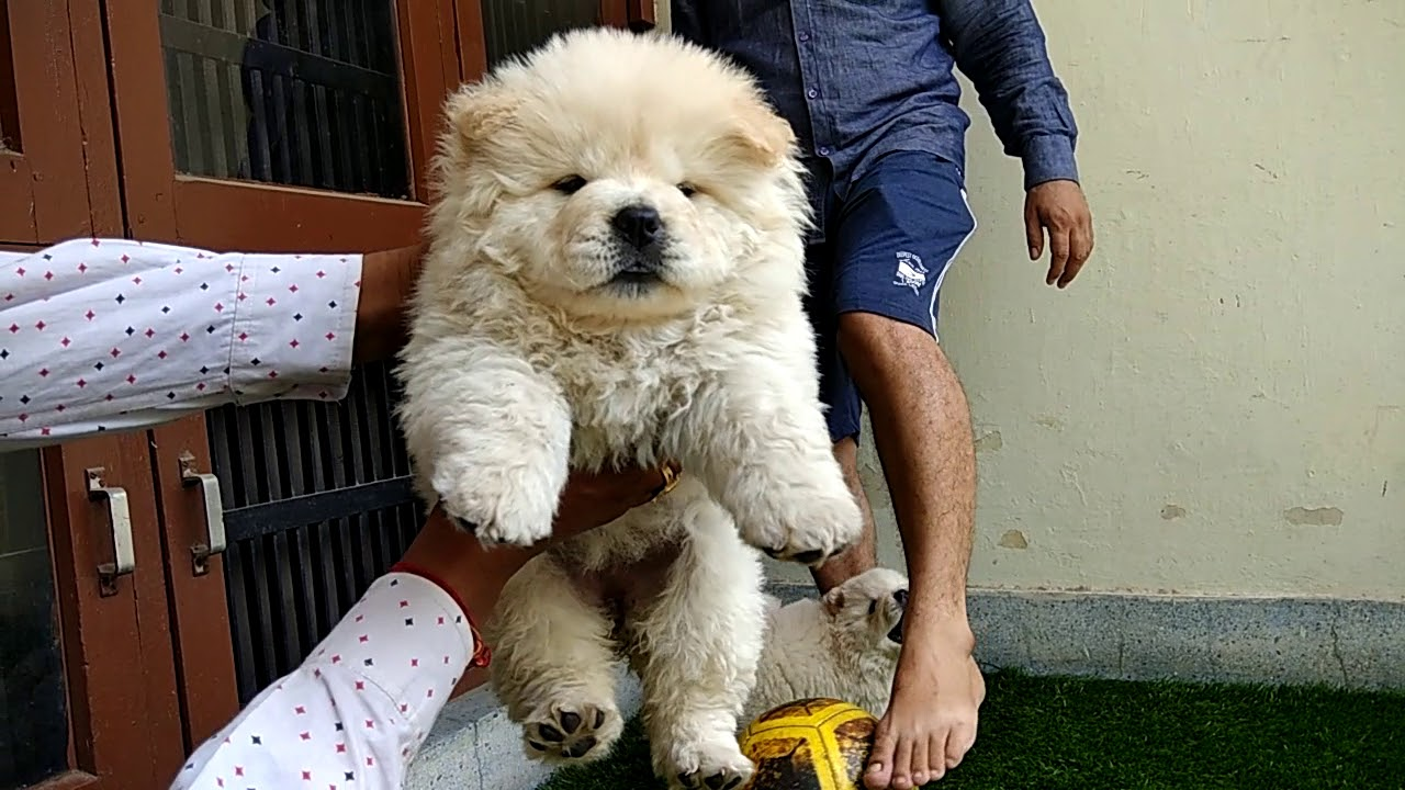 The Chow Chow Puppies On Sale Dog Market 9896504757 Doggyz