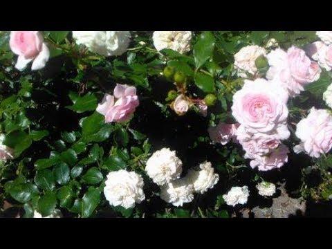 Английские розы.Лечение черной пятнистости. Серия 4