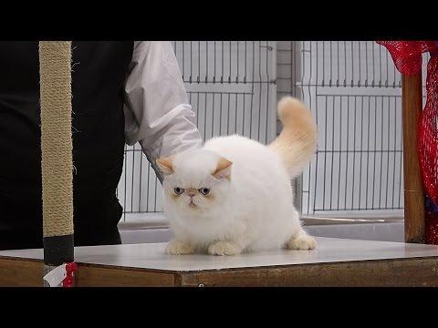 CFA International 2016 - Red Show Zots in kitten class judging