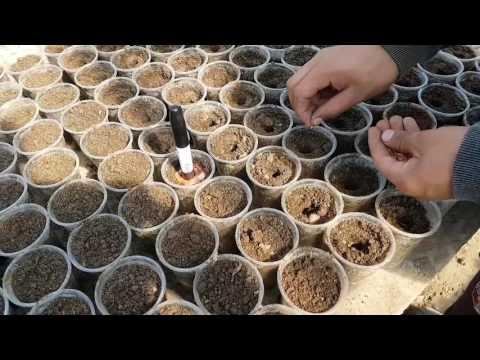 СУПЕР ОБЫЧНЫЙ СПОСОБ посева ОГУРЦА на рассаду в апреле