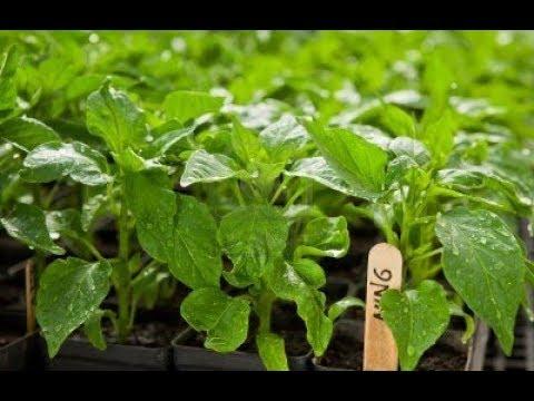 Результат посева Перца в улитку. Чем полить рассаду чтобы не вытягивалась. - Смотреть видео онлайн
