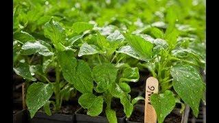 Результат посева Перца в улитку. Чем полить рассаду чтобы не вытягивалась.