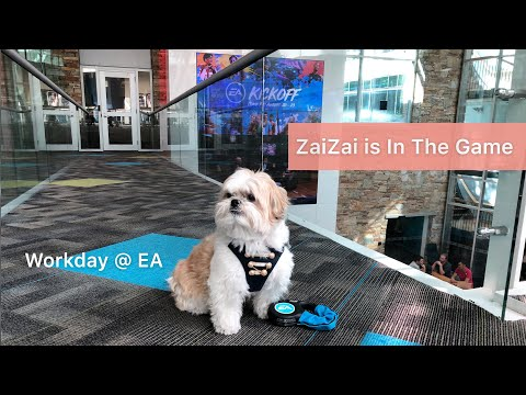 [shih tzu] ZaiZai go to work @ dog friendly company