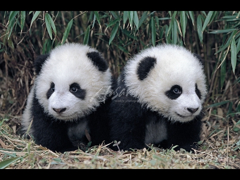 Funny Panda - Cute and Funniest Panda Videos Compilation 2017
