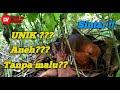 Sarang Burung Sintar Kamuflase Unik  Mp3 - Mp4 Download