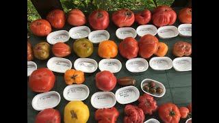 jak zebrać nasiona pomidorów