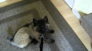 "Fabdogz Training - Fabpuppy Training, Keeshond Puppy Learns ""down""."