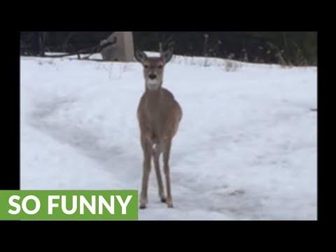 Tantrum-throwing deer demands treats by stomping hoof