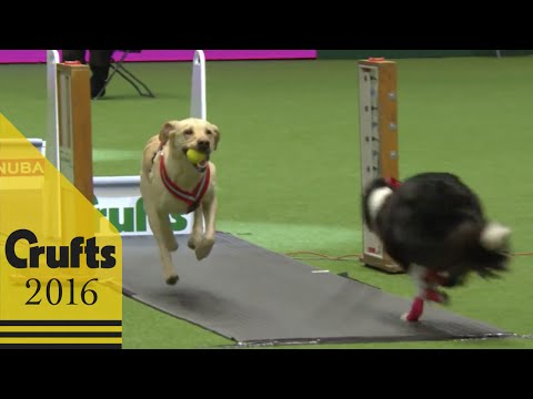 Flyball - Team - Semi Finals | Crufts 2016
