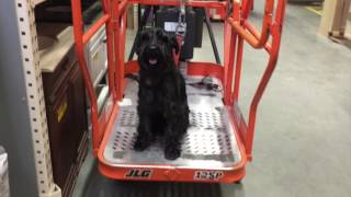 2 Year Old Standard Schnauzer 'Jody' Before/After Video | Amazing Georgia Dog Trainers