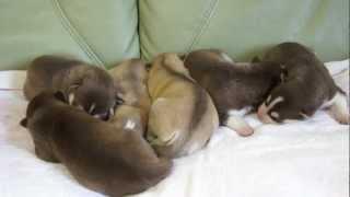 2012年2月22日生まれのシベリアンハスキーの子犬です。 http://wanboh.n...