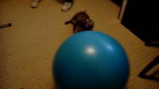 Dachshund Attacks Exercise Ball