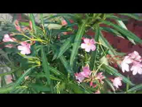 """Life With Ayurveda"" : Amazing Health Benefits of Kaner (Oleander)"