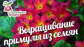 Выращивание примулы из семян #urozhainye_gryadki(, 2017-03-14T12:00:02.000Z)