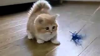 прикольный котёнок с короткими лапами ! няшка !!!  D <--порода Манчкин.mp4