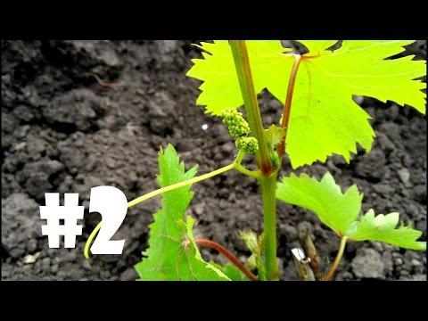 Уход за однолетним кустом винограда, удаление соцветий, подкормка, мульчирование...