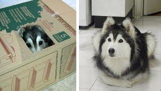 Эту собаку воспитали кошки и ведет она себя как кошка