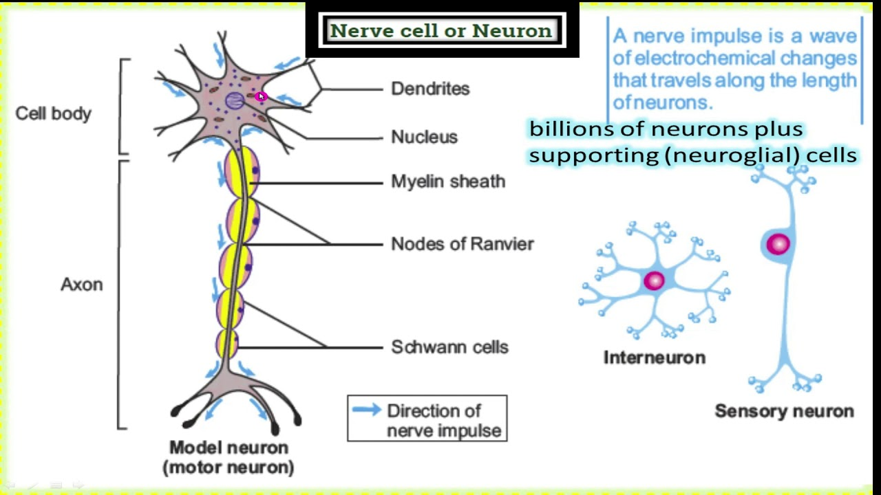 Lecture#2, ch#12, 10th class Nerve cell or Neuron - YouTube