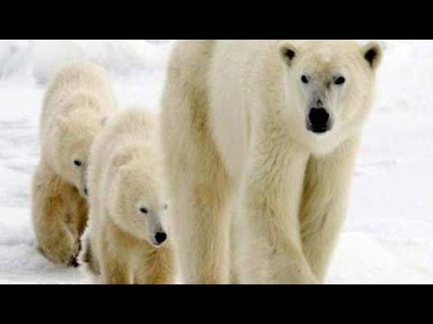 أين يعيش الدب القطبي Youtube