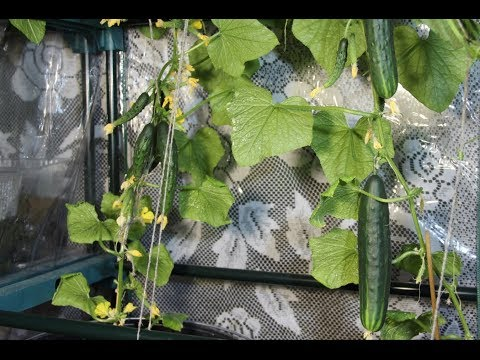Выращивание огурцов зимой в домашних условиях