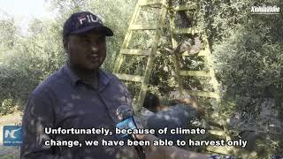Palestinian farmers start olive harvest season against multiple challenges