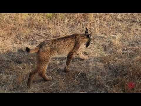 The Iberian lynx, living on the edge of extinction TEASER