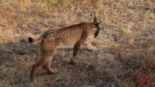 The Iberian lynx, living on the edge of extinction TEASER