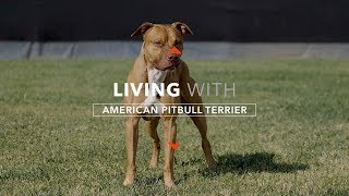 ALL ABOUT LIVING WITH A REAL AMERICAN PIT BULL TERRIER