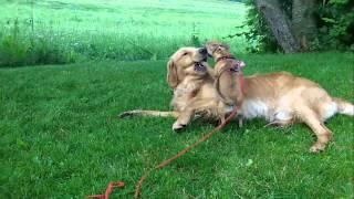 Golden Retriever Vs Mountain Lion *sternchen*