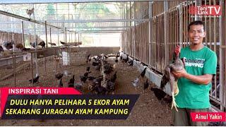 Sukses Ternak Ratusan Ayam Kampung dengan Kandang Semi Intensif