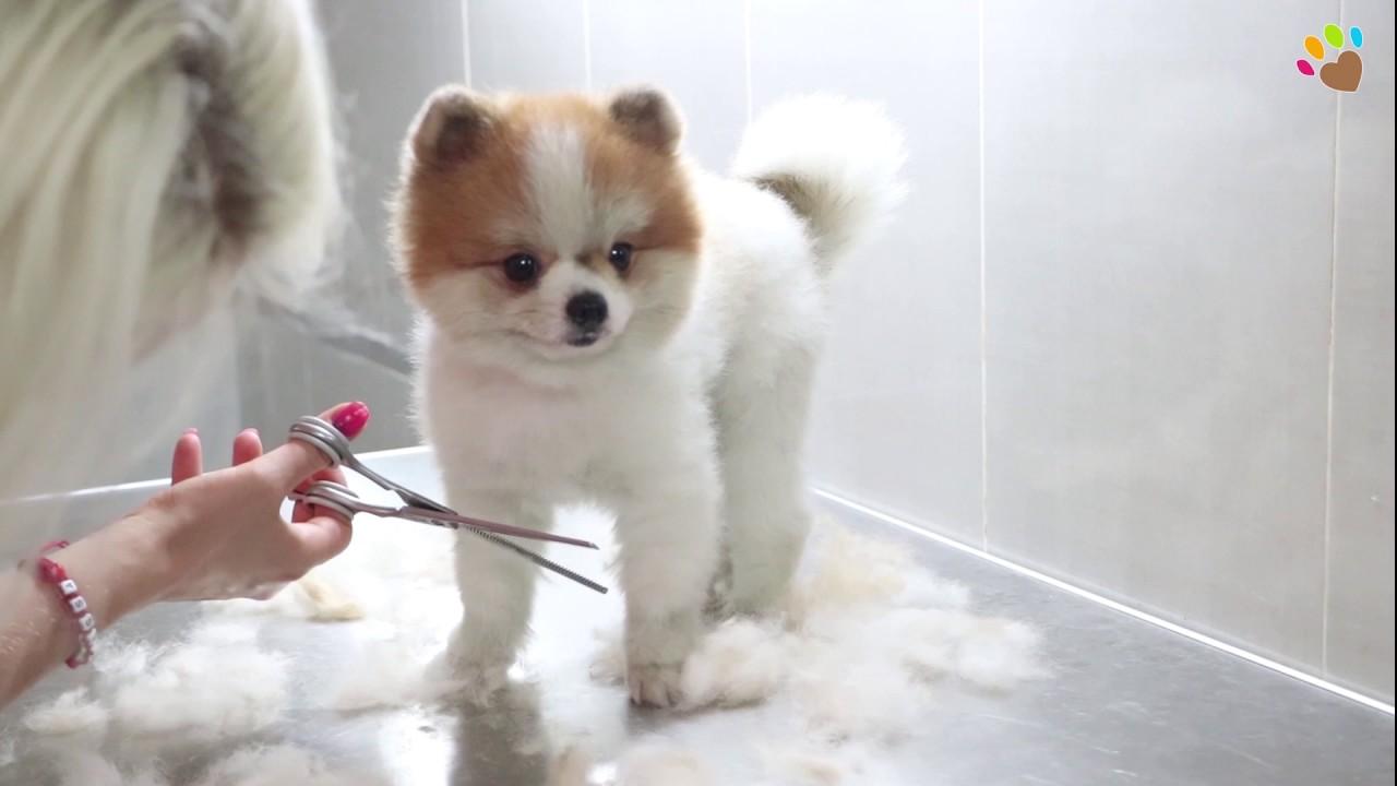 Parti Color Pomeranian Boo Elit Pet