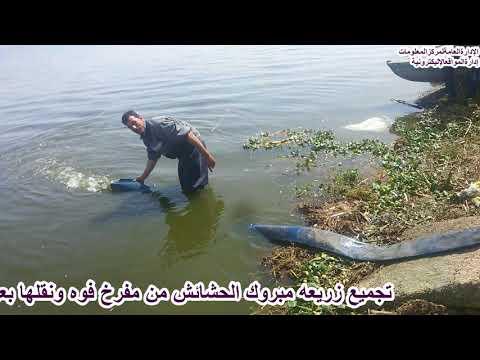 تجميع زريعة مبروك الحشائش وإلقاءها فى بحيرة البرلس ضمن خطة تنمية البحيرات 2017/ 2018